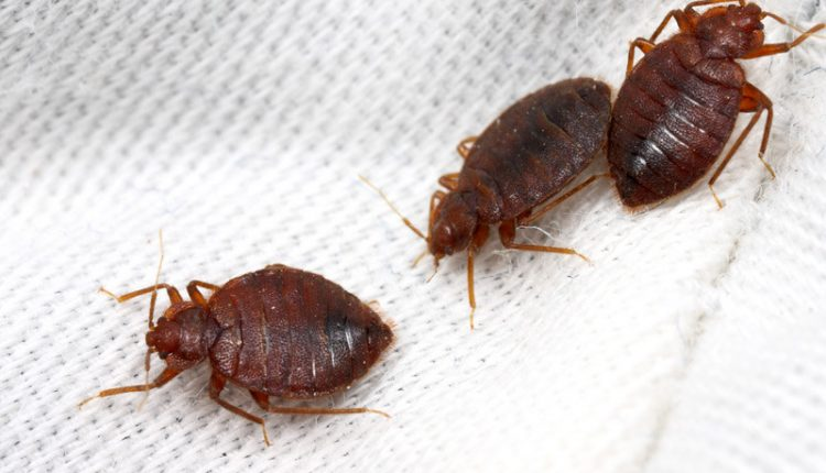 Bed Bugs1