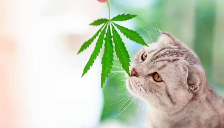 CBD Help With Cat Anxiety